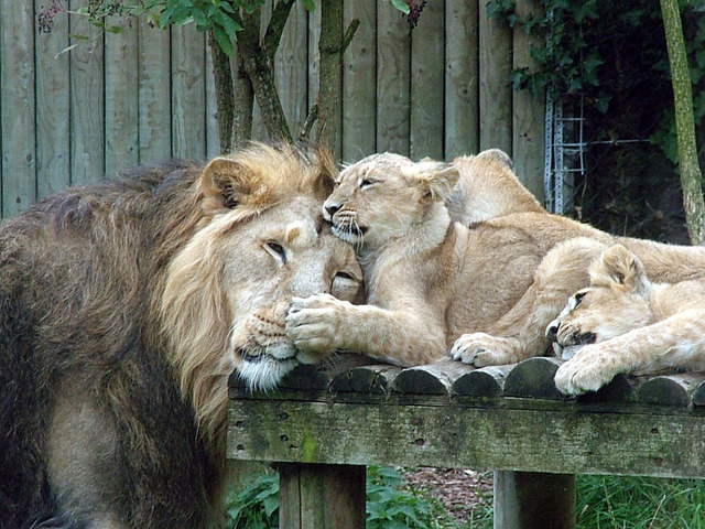 lion-with-cubs